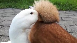 Duck Funnily Rests its Beak Between Dog's Curled Tail