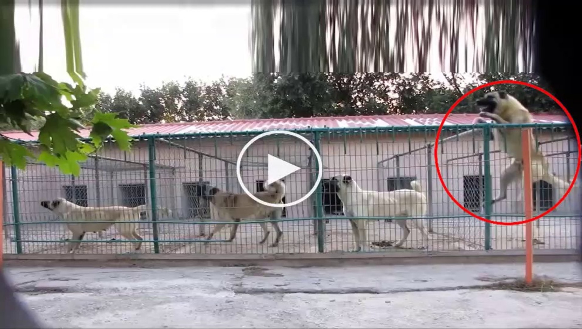 DiZi DiZi SiVAS KANGAL KOPEKLERi - ANATOLiAN SHEPHERD SiVAS KANGAL DOG
