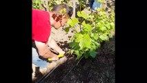 Un viticulteur plante un slip dans ses vignes