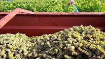 Premières vendanges pour les sociétaires d'Ardèche vignobles