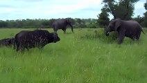 Un éléphant montre à un buffle qui est le patron
