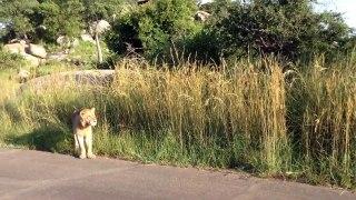 Rencontre tendue entre 2 lions dans un parc en afrique