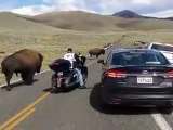 Un motard se retrouve à côté d'un énorme bison - parc Yellowstone