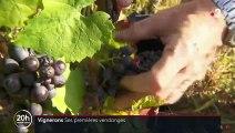 Vignerons : ses premières vendanges