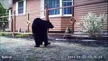 Ce gros ours brun découvre ce qu'est une cloture électrique