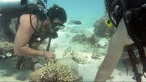 Ein Roboter schützt das Korallenriff vor Killerseestern