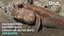 L'Oxudercinae, le poisson qui peut marcher sur la terre ferme