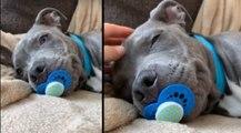 Así es el perro-bebé, el último vídeo viral que arrasa en internet