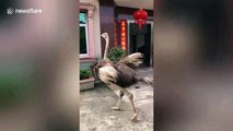 Ostrich charges at villagers in China's Longyan