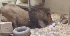 Regardez les très belles images d'un lion qui salue son bébé en s'accroupissant