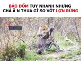 The battle between jaguars and wild boars