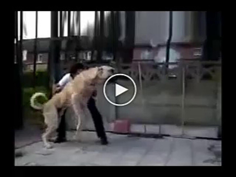 ANADOLU COBAN KOPEKLERi ATISMA - ANATOLiAN SHEPHERD DOG VS