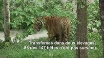 Thaïlande: des dizaines de tigres confisqués à un parc d'attraction n'ont pas survécu