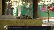 Inde : à Bombay, des léopards chassent dans les rues la nuit