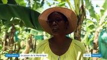 Antilles: des terres contaminées par le chlordécone