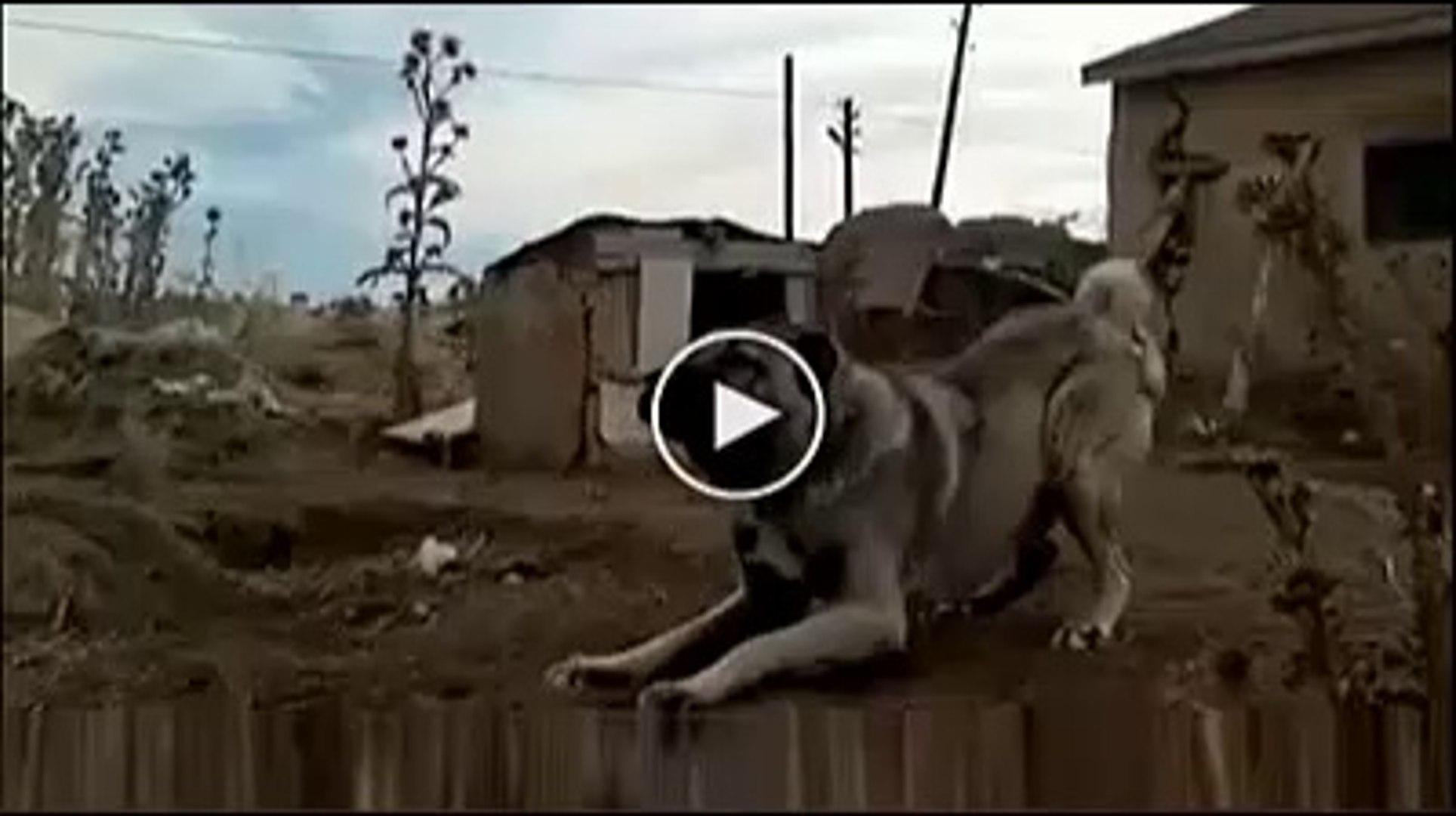 KALIN ADAMCI SiVAS KANGAL KOPEGi - ANATOLiAN SHEPHERD SiVAS KANGAL DOG