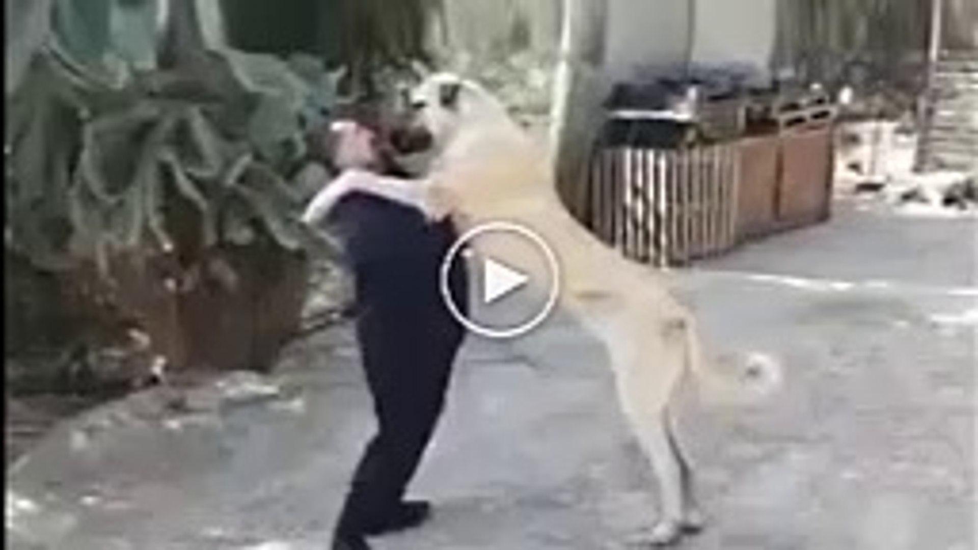 DEV +1 METRE ANADOLU COBAN KOPEGi - +1 METER GiANT ANATOLiAN SHEPHERD DOG