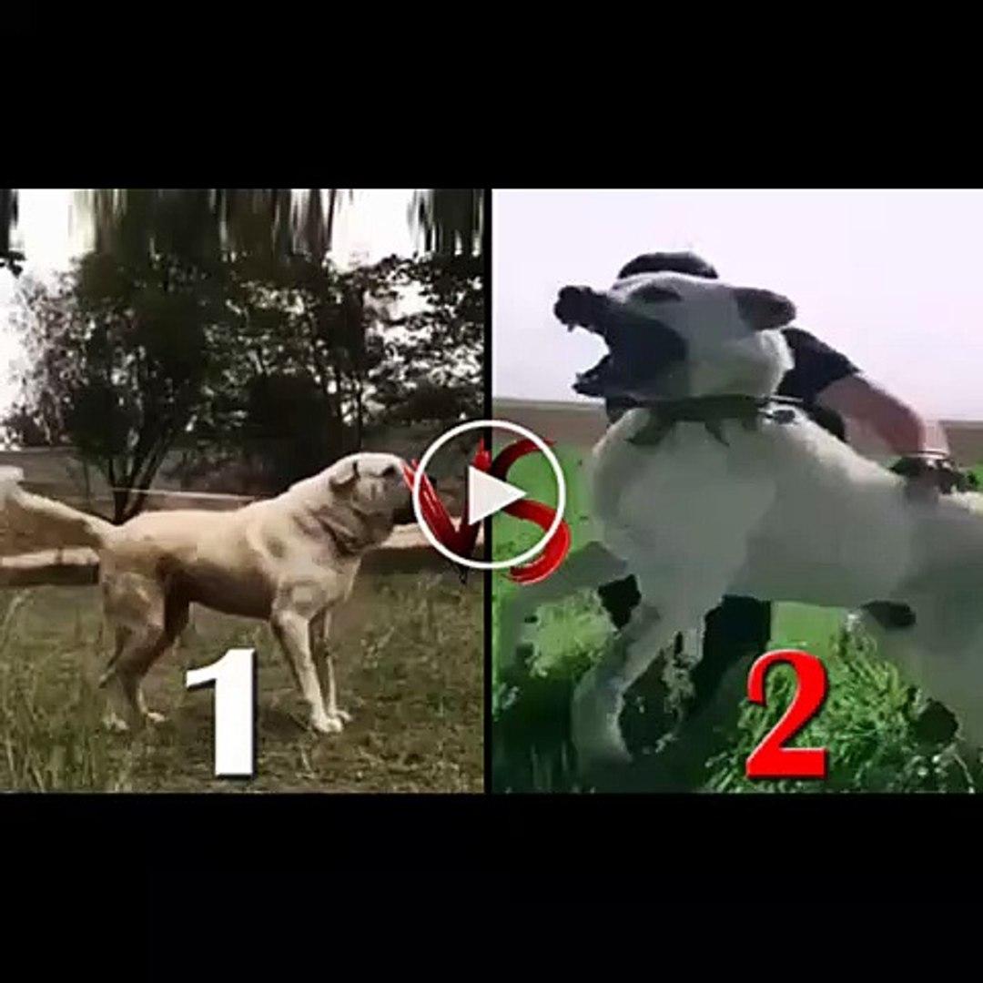 ANADOLU COBAN KOPEKLERi KARSILASTIRMA - ANATOLiAN SHEPHERD DOG COMPARiSON