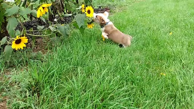 Rigby Wrestles with Sunflowers