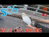 Guys Save Swan Stranded on Busy Motorway