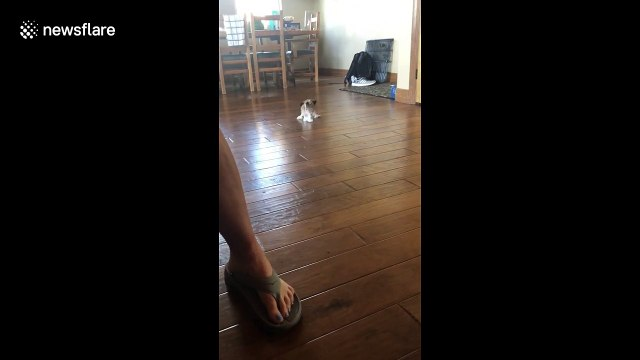 Small puppy tries to play with big dog but can't stop slipping on hardwood floor