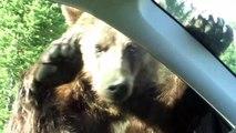 Un énorme grizzly s'en prend à une voiture au parc de Yellowstone
