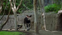 Meet the Herd! Okapi at the San Diego Zoo