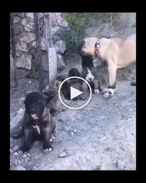 SiVAS KANGAL YAVRULARINDAN GuNAYDIN - ANATOLiAN SHEPHERD KANGAL PUPPY DOGs