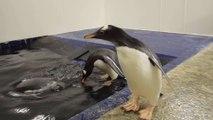 Un bébé pingouin prend sa première leçon de natation