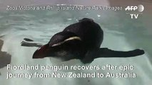 Tiny penguin recovers after epic NZ-Australia swim