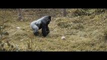 Cet adorable gorille est fan de rugby!