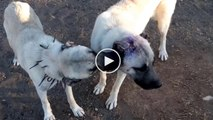 SiVAS KANGAL KOPEGi YARALARINI iYiLESTiRME - SiVAS KANGAL DOG WOUNDS HEALiNG