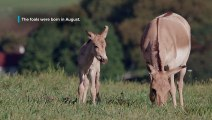 Persian Onager Foals at the Smithsonian Conservation Biology Institute