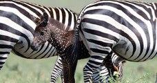 Kenya: naissance d'un zèbre brun à pois blanc, un événement extrêmement rare
