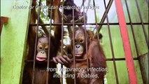 Indonesia's forest fires affecting Borneo's orangutans