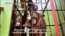 Les orang-outans de Bornéo menacés par les grands feux de forêt