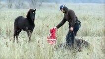 Ce cheval sauvage remercie son sauveur qui l'a délivré de ses chaines