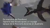 Voyage épique d'un petit manchot de Nouvelle-Zélande à l'Australie