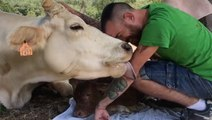 Cow Shows Gratitude To Keeper With Lots Of Licks