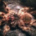 Mue d'une tarantule : cette araignée change sa peau !