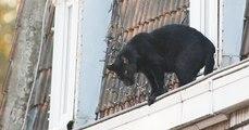 Nord: une panthère noire qui se baladait sur les toits d'Armentières affole la population