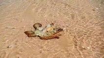 Ce poulpe reconnait ses sauveurs et vient les remercier