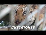"""En Thaïlande, 86 tigres rescapés du """"Temple des Tigres"""" en 2016 sont morts"""