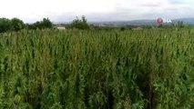 Kenevir tohumu üretimi 2023'te 150 tona çıkacak...Kenevir tarlaları havadan görüntülendi
