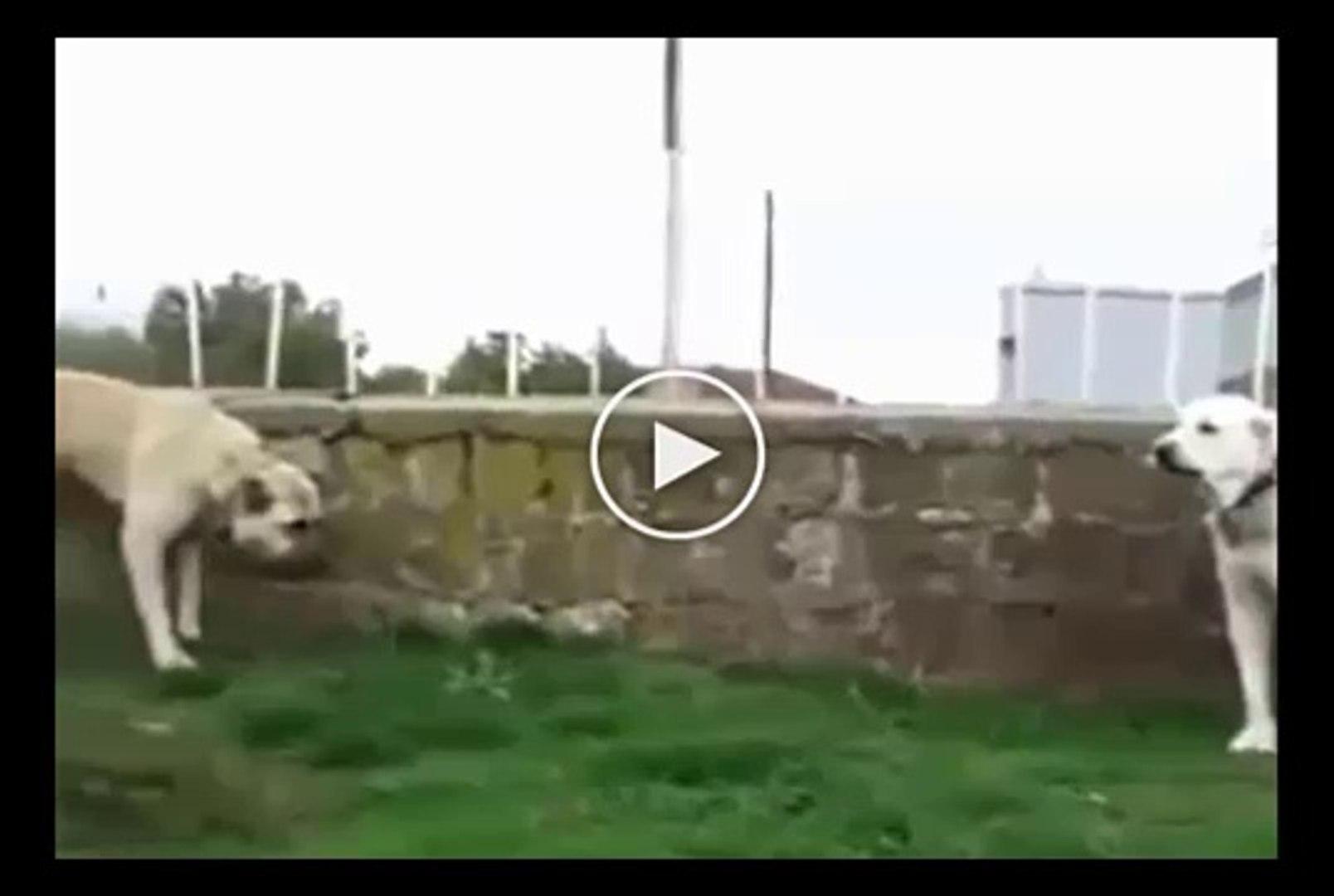 AKBAS COBAN KOPEGi vs SiVAS KANGAL KOPEGi - AKBASH DOG vs KANGAL DOG
