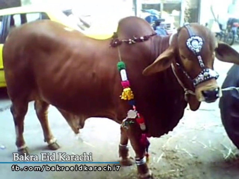 Most Beautiful Cow Qurbani 2019   Most Beautiful Bull Qurbani 2019