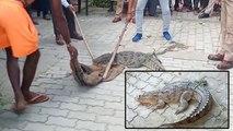 यूपी पुलिस भारी-भरकम मगरमच्छ को पकड़कर ले आई थाने, VIDEO