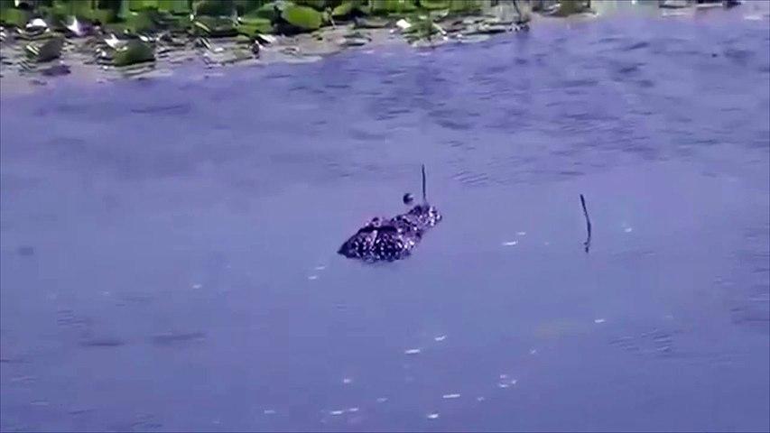 Un caimán y una anaconda se enfrentan a un duelo a vida o muerte