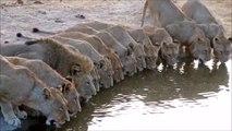 Images magnifiques de dizaines de lions en train de boire
