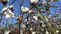 Aydın ak parti aydın milletvekilleri, pamuk tarlasıyla incir bahçesi gezdi